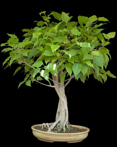 Ficus religiosa Bohdi Tree // Sacred Tree 25 Fresh seeds Perfect as a bonsai