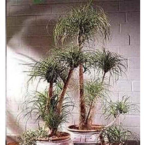 Palm Tree 15 Seeds Beaucarnea Guatemalensis Delightful Plant ()