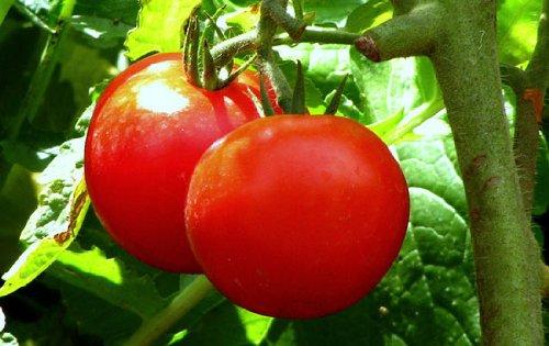 early girl tomato seeds - 8