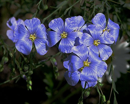 300 Blue Flax Seeds Linum Linacaea / Medicinal Herb (Grown by West Seed Farm)
