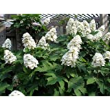 Snow Queen Oakleaf Hydrangea (1-2 feet tall in full gallon containers)