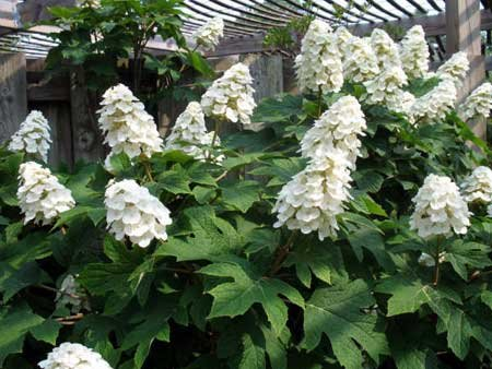 Snow Queen Oakleaf Hydrangea - Live Plant Shipped 1 to 2 Feet Tall by DAS Farms (No California)