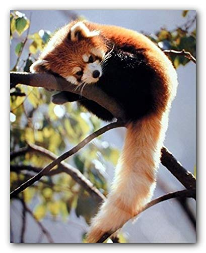 Red Panda Sitting on a tree Wildlife Wall Decor Animal Art Print Poster (16x20)