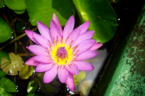 Home Comforts LAMINATED POSTER Pink And Yellow Water Lily Fl