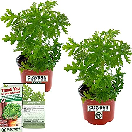 Amazon Com Clovers Garden 2 Large Citronella Mosquito Repellent
