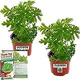 Clovers Garden 2 Large Citronella Plants in 4-Inch Pots – Citrosa Geranium Plant Natural Mosquito Plant