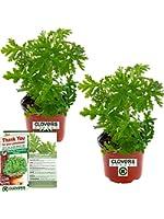 Clovers Garden 2 Large Citronella Mosquito Repellent Plants in 4-Inch Pots – Citrosa Geranium Plant Naturally Repels…