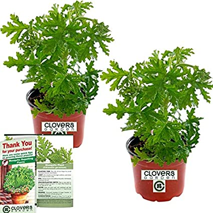 Clovers Garden 2 Large Citronella Mosquito Repellent Plants In 4 Inch Pots Citrosa Geranium Plant Naturally Repels Mosquitos No See Ums And Other
