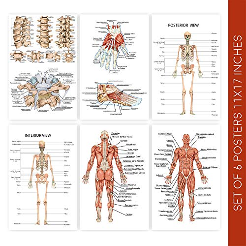 Human Body Anatomy Posters | Set of Six 11X17 Medical Science Chart Art Posters | These Educational Skeleton Model Prints Come with Sticky Squares for Installation | Wall Poster Decor for Classrooms