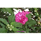 (1 gallon pot)Althea , LUCY Double RED Blooms(rose of Sharon)produces lots of double red blooms in the summer,