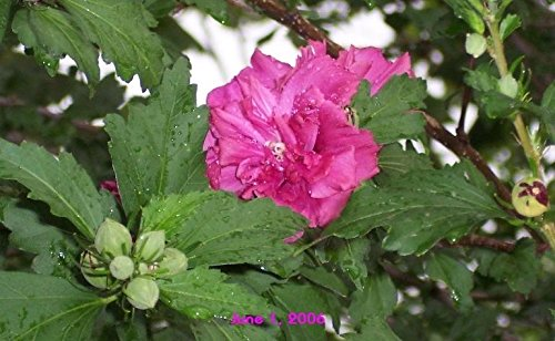heat//drought tolerant Althea Red Lots of Red petals fill each peony flowers throughout summer Pack of 2 plants