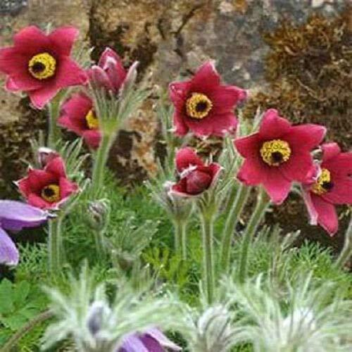 (50 Pasque Seeds Red Flower (Pulsatilla) Flower Seeds)
