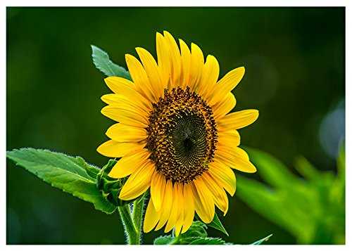 Texas Sunflower Fine Art Greeting Card (Blank Inside) ()