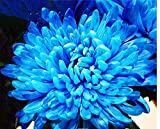 Mr.seeds 100 pcs/bag Rare Blue White Color Chrysanthemum Seeds Chrysanthemum Morifolium Seeds Flower Potted Plant for DIY Home Garden Back to product details