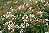 Indian Hawthorn Alba Qty 40 Live Plants Evergreen Shrub