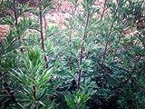 Certified Organic Oriental Mugwort Seeds (~200): Non-GMO Heirloom Packet