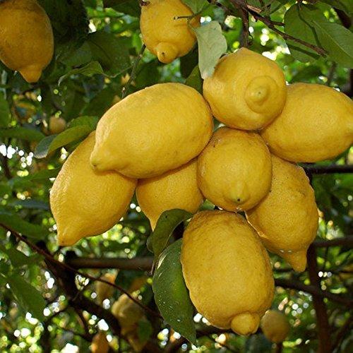 Limone Di Sorrento Kg 1 Amazonit Alimentari E Cura Della Casa