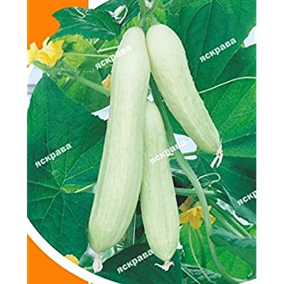 Cucumber Seeds Chinese White Ukraine Heirloom Seed : Garden & Outdoor