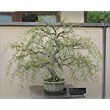 Bonsai Dragon Willow Tree Cutting - Large Thick Trunk - One Live Indoor Tree - Corkscrew Willow Bonsai - Fast Growing Unique