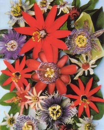 Passion Fruits of the World 15 Seeds-Assorted Varieties by Tropical Oasis