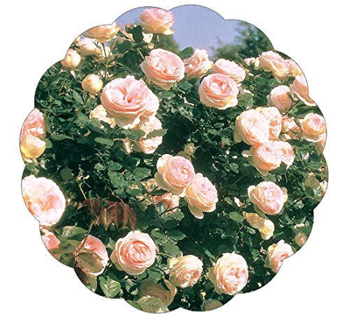 Stargazer Perennials Eden Climber Rose Bush Reblooming Pink Climbing Rose Grown Organic - Potted - Easy to Grow