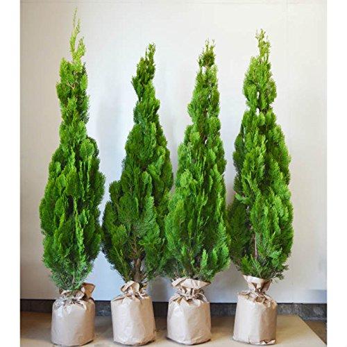 無料枯れ保証 コニファー エレガンテシマ 送料無料 4本セット 約120cm シンボルツリー 生垣 植木 目隠し 室内 北米スタイル B075FP7HZJ
