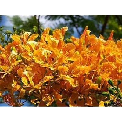 Yellow Flamboyan Royal Poinciana Delonix Regia 10 Seeds : Garden & Outdoor
