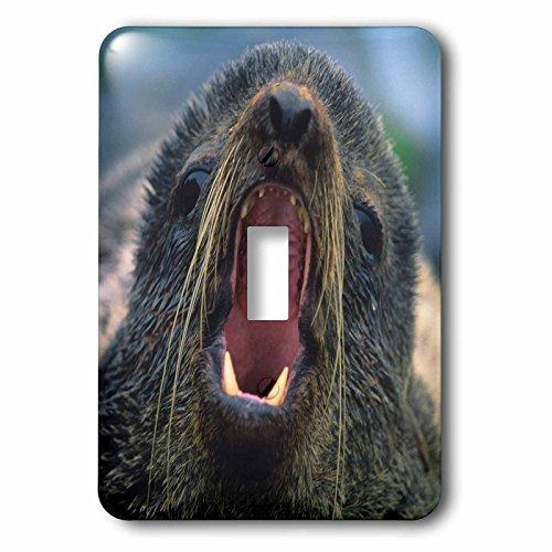 3dRose Danita Delimont - Seals - Northern Fur Seal, Callorhinus ursinus, California, USA - Light Switch Covers - single toggle switch (lsp_259037_1) - Northern Fur Seal
