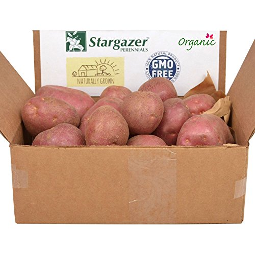 Red Pontiac Seed Potatoes 2.5 Pounds | Certified Organic Virus-Free Non-GMO Red Potato
