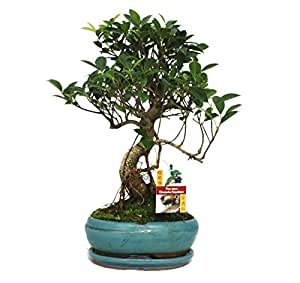 Bonsai chinese fig tree - Ficus retusa - 8 years