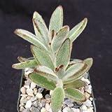 Kalanchoe tomentosa panda plant Cactus Cacti Succulent Real Live Plant