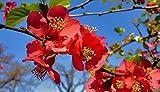 NIKITOVKASeeds - Japanese Quince - 25 Seeds - Organically Grown - Non GMO