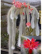 Hildewintera Colademononis * Stunning Monkey Tail Cactus * Red Flowers *10 seeds