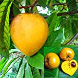 WANCHEN 10 Pcs Lucuma Nervosa Egg Yolk Fruit Bonsai Tree Plants Bonsai Perennial DIY Outdoor Garden Planting (Seeds not Plants)