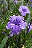 Ruellia brittoniana PURPLE MEXICAN PETUNIA 1 Plant!