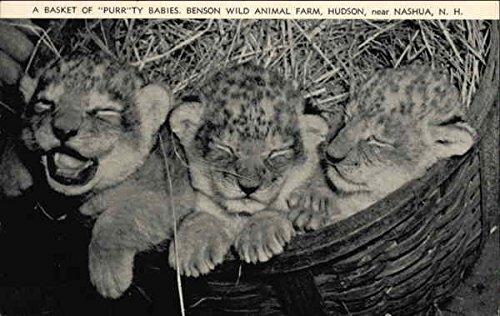 A Basket of Purrty Babies, Benson Wild Animal Farm, Near Nashua Original Vintage Postcard from CardCow Vintage Postcards