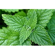 Asklepios-seeds - 10.000 Organic Catnip seeds - your Cat will love it and go crazy - Nepeta cataria, catswort catmint