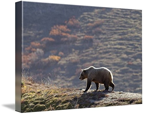 Wall Art Print entitled Grizzly Bear Walking On Ridge With Mountainside In by Design Pics | 48 x - Grizzly Bear Pic