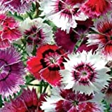 """Chinese Pinks """"Dianthus Chinensis"""" 150 Seeds"""