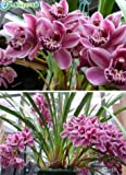 New Leopard Cymbidium 100+ Seeds - 15