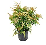 Pieris jap. 'Mountain Fire' (Mountain Fire Andromeda) Evergreen, 2 - Size Container