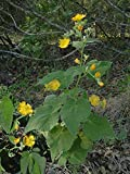 Alyf Market China Jute Velvetleaf Seeds (Abutilon theophrasti Medik) Indian Mallow, Velvet Weed, Indian Hemp, Cotton-Weed, Buttonweed. (1 packet-30 Seeds)