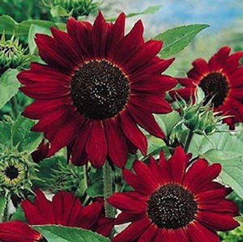 - Velvet Queen Sunflower Seeds