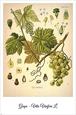 Quince Vintage Botanical Floral Illustration Art Poster 24x36