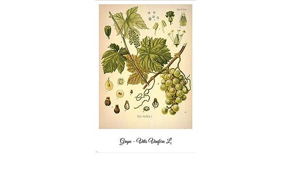 Grape Vintage Botanical Floral Illustration Art Poster 24x36