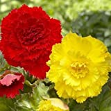 Begonia Giant Ruffled YELLOW ( 3 Bulbs) Fragrant blosssoms from summer to frost