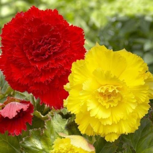 (Begonia Giant Ruffled YELLOW ( 3 Bulbs) Fragrant blosssoms from summer to frost)