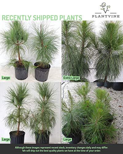 PlantVine Pinus elliottii densa, Densa Pine, South Florida Slash Pine - Large, Bush - 8-10 Inch Pot (3 Gallon), Live Plant - 4 Pack by PlantVine (Image #2)