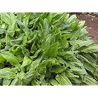Healthy Sorrel 'Lyonski' (Rumex Acetosa L.) Vegetable Plant Seeds, Leafy Perennial, Early Heirloom