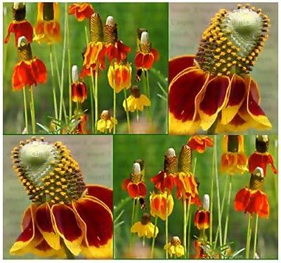 1,500 MEXICAN HAT CONEFLOWER RED PRAIRIE Flower Seeds R. columnaris Zones: 3-9